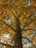 Se upp in i ett gammalt sykomorträd i höst arkivbild