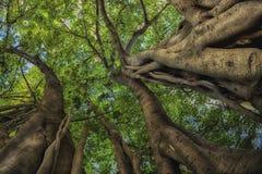 Se upp in i fikonträdmarkisen Arkivbilder