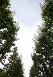 Se upp i himlen i - mellan två rader av aprikosträd i en fruktträdgård i Nya Zeeland royaltyfri fotografi