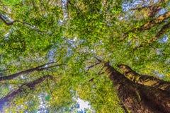 Se upp i tropisk rainforest med det gröna höga trädbladet på b Royaltyfri Foto