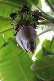 Se upp på blommafröskidan av ett bananträd Fotografering för Bildbyråer