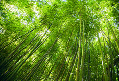 Se upp på den exotiska frodiga gröna bambuträdmarkisen Fotografering för Bildbyråer