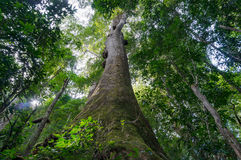 Se upp på det jätte- tropiska trädet i rainforest Royaltyfria Foton