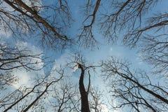 Se upp på det torra trädet för himmel naturen Fotografering för Bildbyråer