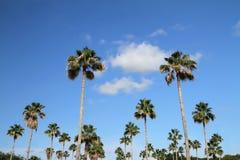 Se upp på en grupp av högväxta Washintonia palmträd, är de också bekanta, som den mexicanska fanen gömma i handflatan Arkivbild