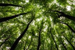 Se upp på högväxta träd i en skog i den Shenandoah nationalparken Arkivfoton