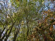 Se upp på markisen, blå himmel för gröna sidor alldeles av träd, foto som tas i UK fotografering för bildbyråer