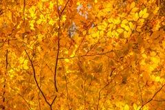 Se upp på trädmarkisen som visar ljusa höstsidor i br Arkivfoto