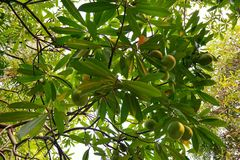 Se upp passifloralaurifoliaen Linn som en bakgrund, arkivbild