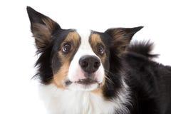 se upp sheepdogen arkivfoton