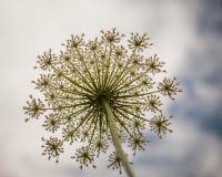 se upp stammen av en stor vit blomma för gräsplan och och himlen över Arkivfoton