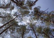 Se upp till himlen till och med träd Sikt för låg vinkel av skogen Royaltyfri Bild