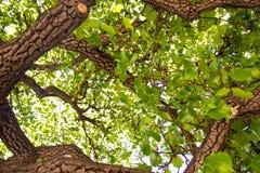 Se upp till och med träden med gröna sidor och filialer arkivbilder