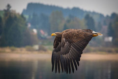 Sea eagle Stock Images