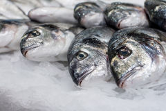 Sea ��fish on ice Royalty Free Stock Photography