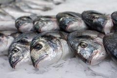 Sea ��fish on ice Royalty Free Stock Photo