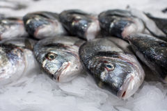 Sea ​​fish on ice Royalty Free Stock Photos