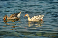 Sea ��geese Stock Images