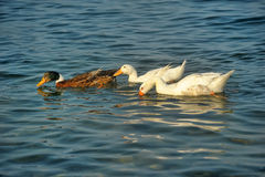 Sea ��geese Royalty Free Stock Images