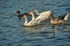 Sea ��geese Stock Photos