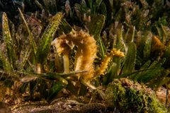 Sea horse in the Red Sea Colorful and beautiful stock photos