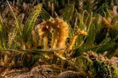 Sea horse in the Red Sea Colorful and beautiful stock image