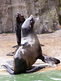 Sea lion, friendly animals at the Prague Zoo Stock Image