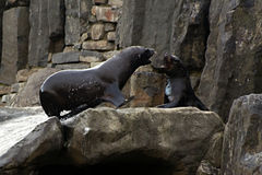 Sea ��lion, friendly animals at the Prague Zoo Stock Photos