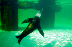 Sea ​​lion, friendly animals at the Prague Zoo. stock image