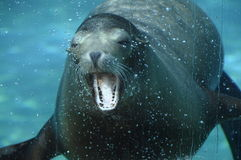 Sea lion opening its mouth under water Royalty Free Stock Photos