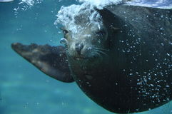 Sea ​​lion opening its mouth under water Stock Photography