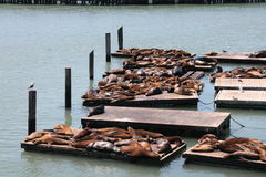 Sea lions. Resting on the pier stock image