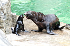 Brown fur seal  Royalty Free Stock Photography