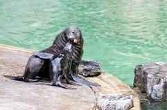 Brown fur seal  Royalty Free Stock Photos