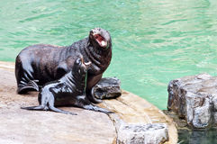 Brown fur seal  Royalty Free Stock Image