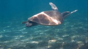 Sea ​​turtle swimming. In the red sea stock video