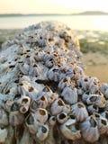 Sea acorns Balanomorpha stock photography
