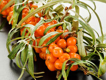 Sea ​​buckthorn Stock Images