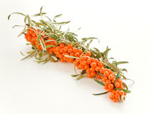 Sea ​​buckthorn Royalty Free Stock Image