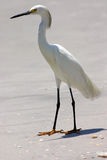 By the sea. Snowy Egret By the sea in Madeira Beach Florida royalty free stock images