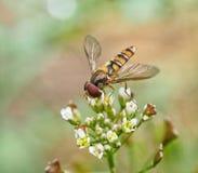 Sea abeja mi amigo Foto de archivo libre de regalías