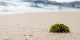 Sea in action. Moss thrown on the beach Stock Photo