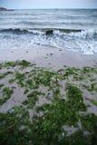 Sea algae Royalty Free Stock Images