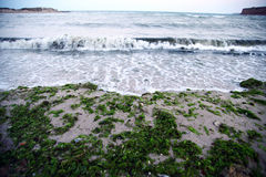Sea algae Royalty Free Stock Images