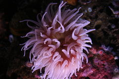 Sea Anemone. A pink sea anemone with tentacles open wide to feed Stock Photos