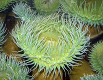 Sea anemone Stock Images