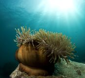 Sea anemone Royalty Free Stock Image