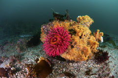 Sea Anemone Royalty Free Stock Photography