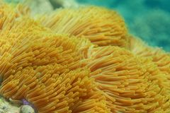 Sea anemone Royalty Free Stock Image