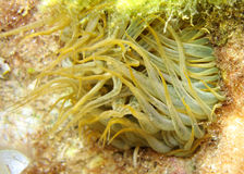Sea anemone. Moving tentacles of sea anemone stock photography